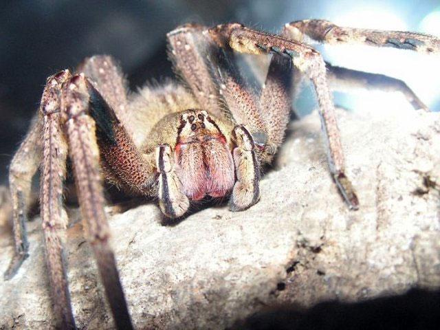 Nọc nhện độc chữa được bệnh liệt dương