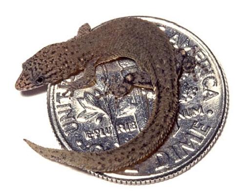 Tắc kè lùn Sphaerodactylus ariasae