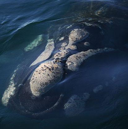Mòng biển rỉa thịt cá voi