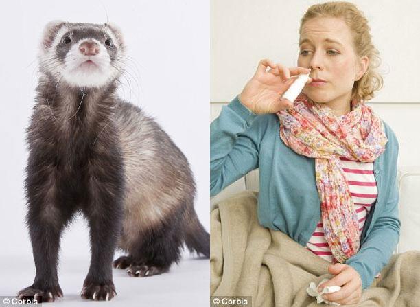 Nghiên cứu chồn, phát hiện cơ chế lây lan bệnh cúm qua không khí