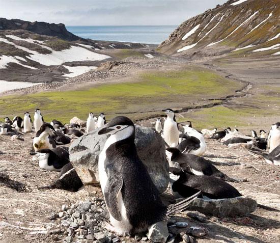 Bầy chim cánh cụt quai nón trên đảo Deception ở Nam Cực.
