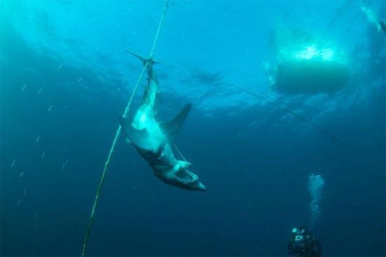 Cá mập mako bị hành xác
