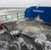 Chinh phục cá mập trắng nặng 1000kg