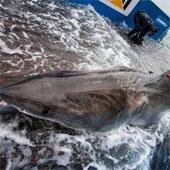 Video: Chinh phục cá mập trắng nặng 1000kg