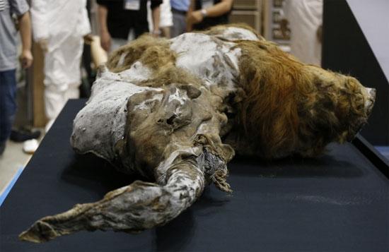 Phục hồi voi ma mút từ xác chết