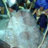 Nghệ An: Bắt được cá Mặt trăng khổng lồ 400kg
