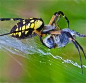Vì sao mạng nhện bẫy được côn trùng?