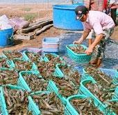 Australia tạo siêu thực phẩm bền vững cho tôm nuôi