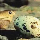 Video: Ly kỳ chuyện rắn ăn trứng biết bỏ vỏ