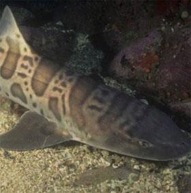 Phát hiện loài cá mập tiền sử mới ở Mỹ