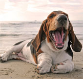 Chó ngáp theo chủ