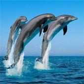 Cá heo có trí nhớ xã hội lâu nhất ở thế giới động vật