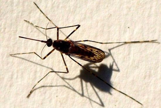 """Các loài muỗi """"kinh dị"""" không thèm hút máu người"""