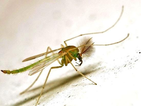 Cánh của muỗi vằn Midge không có rìa ngoài và vân;