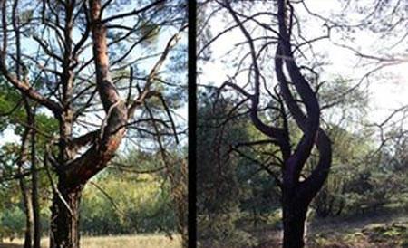 Di chứng rò rỉ hạt nhân trên cây cối ở Chernobyl