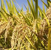 Đồng Tháp: Lai tạo thành công bộ giống lúa mới