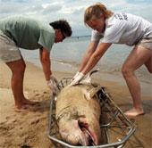 Dịch bệnh lại bùng phát ở loài cá heo