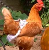 Ngăn bệnh dịch cho gà bằng cách đóng bỉm