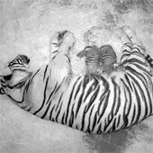 Hổ quý hiếm chào đời ở Mỹ