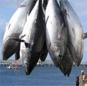 """Video: Cảnh bắt cá ngừ """"khủng"""" trên biển"""