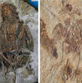 Chim tiền sử hy sinh đuôi để tiến hóa