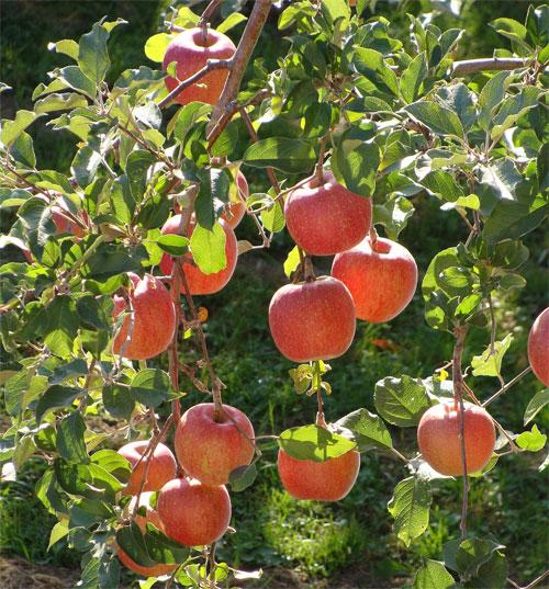 Biến đổi khí hậu ảnh hưởng đến chất lượng hoa quả