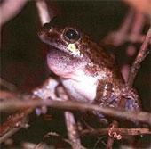 Tiếng gọi bạn tình ở loài ếch