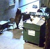 Video: Gấu tinh ranh trộm đồ ăn thừa của nhà hàng