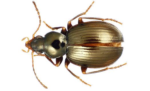 Phát hiện 40 loài bọ cánh cứng mới ở quần đảo Tahiti
