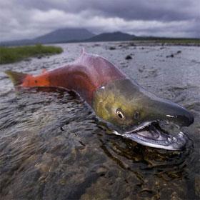 """Cá hồi và cơ chế sinh sản bí ẩn chống """"đẻ mướn"""""""