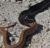Video: Hổ mang đen Châu Phi nuốt chửng rắn cát