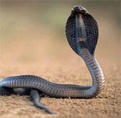 Video: Xem thổ dân Ấn Độ bắt rắn hổ mang cực độc