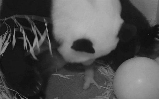 Gấu trúc sinh con ở vườn thú Mỹ