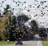 Chim cũng biết tuân thủ tốc độ giao thông