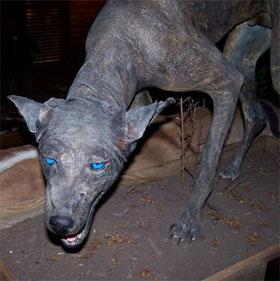 Sinh vật lạ mắt xanh, da bì được cho là quái vật Chupacabra huyền thoại