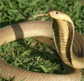 Video: Những bí ẩn về loài rắn hổ mang chúa