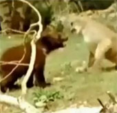 Video: Xem gấu ăn miếng trả miếng với sư tử