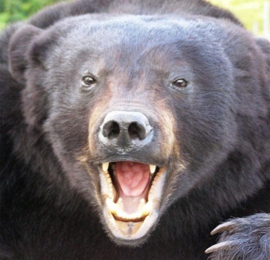 Những sự thật thú vị về loài gấu ít người biết đến