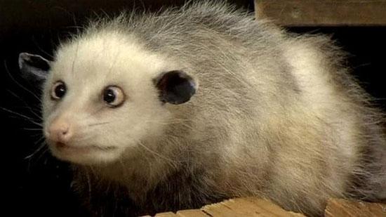 Chuột mắt lác Heidi hiện đã ở độ tuổi xế chiều (3 tuổi rưỡi) và được dự đoán sẽ thọ tối đa 5 tuổi.