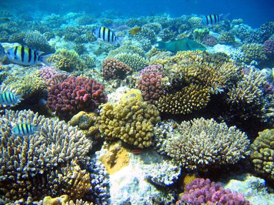 Lá chắn của san hô chống đươc tia cực tím