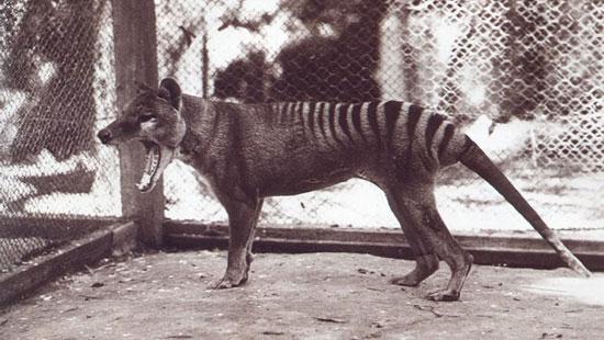Hổ Tasmania bị tuyệt chủng do con người tin rằng chúng đã săn bắt cừu của nông dân.