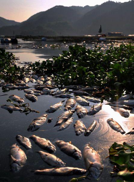 Ước tính thiệt hại của đợt cá chết lên tới hàng triệu nhân dân tệ.
