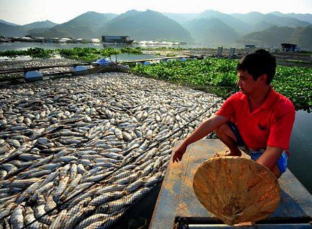 Một người đàn ông xót xa nhìn cảnh cá chết trắng hồ.