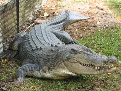 Video bắt cá sấu khổng lồ ở Philippines