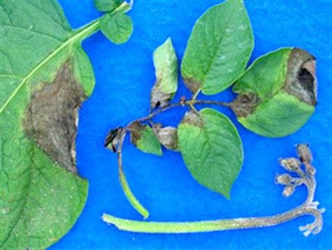 Bệnh rụng lá khoai tây tái xuất hiện ở Mỹ