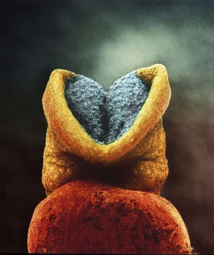 Hai ngày sau đó, dù phôi thai chưa trưởng thành nhưng vẫn có thể nhìn thấy bên trong não