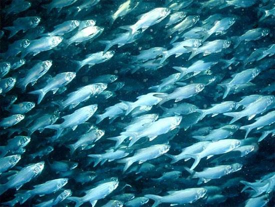 Cá biển ngày càng cạn kiệt do biển nóng
