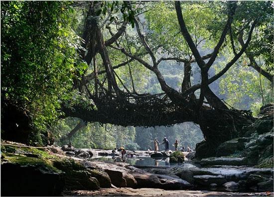 Cây cầu bằng rễ cây độc nhất trên hành tinh