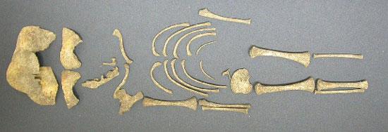 Bộ xương của một trong số 35 trẻ sơ sinh được tìm thấy tại ngôi biệt thự La Mã trong làng Hambleden. (Nguồn: English Heritage)