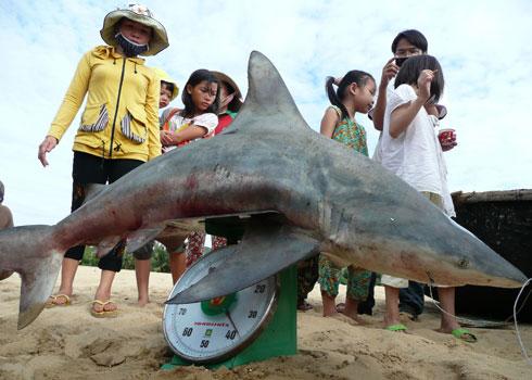 Cá mập do Viện Hải dương học Nha Trang câu trên vùng biển Quy Nhơn hồi tháng 7.